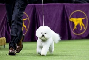 Best in Show winner Flynn, a bichon frise, competes in the finals of the 142nd Westminster Kennel Club Dog Show in New York City on February 13, 2018.