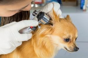 Veterinarian doctor examining dog