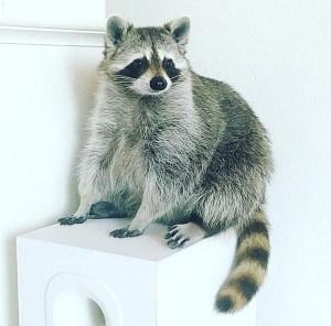 pumpkin-the-raccoon