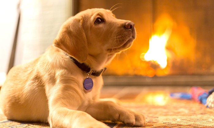 puppy-id-your-pet