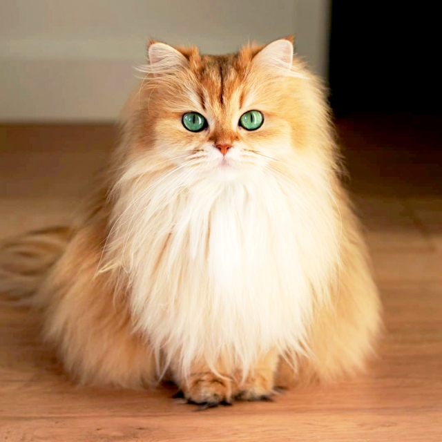 0ed8356f3ec5a Meet Smoothie, 'The World's Most Photogenic Cat'