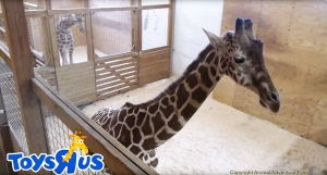 April the Giraffe pregnant again