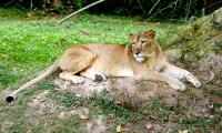 lion-and-simba
