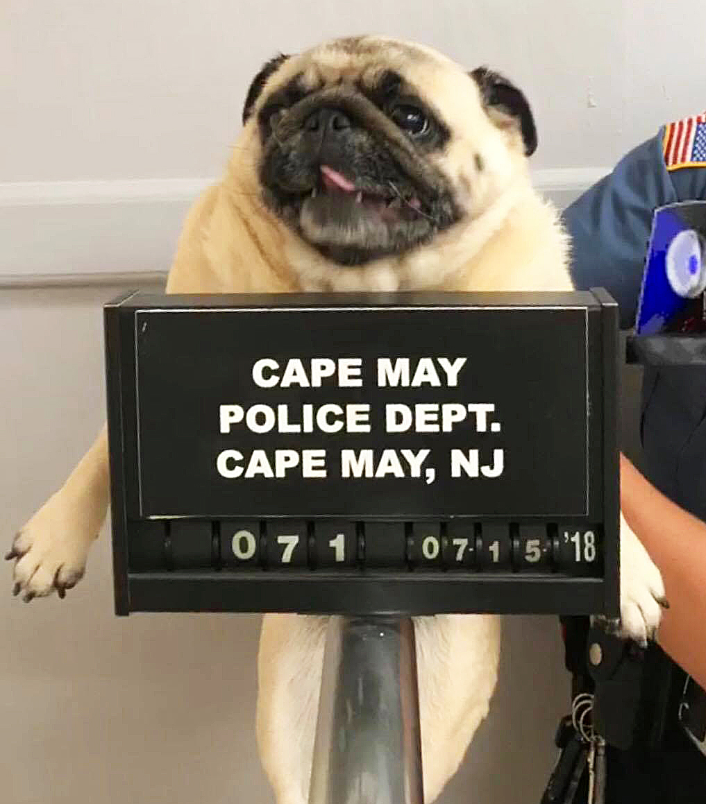 Pug Mugshot Cape May Police Department