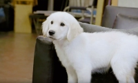 Puppy Casting Call for NBC 'Chicago' Shows