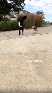 Kristin Cavallari, Goat, Dog, Bully, Instagram