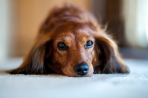 Grab the Tissues: Dachshund Reunites With Her Owners 5 Years After Going Missing
