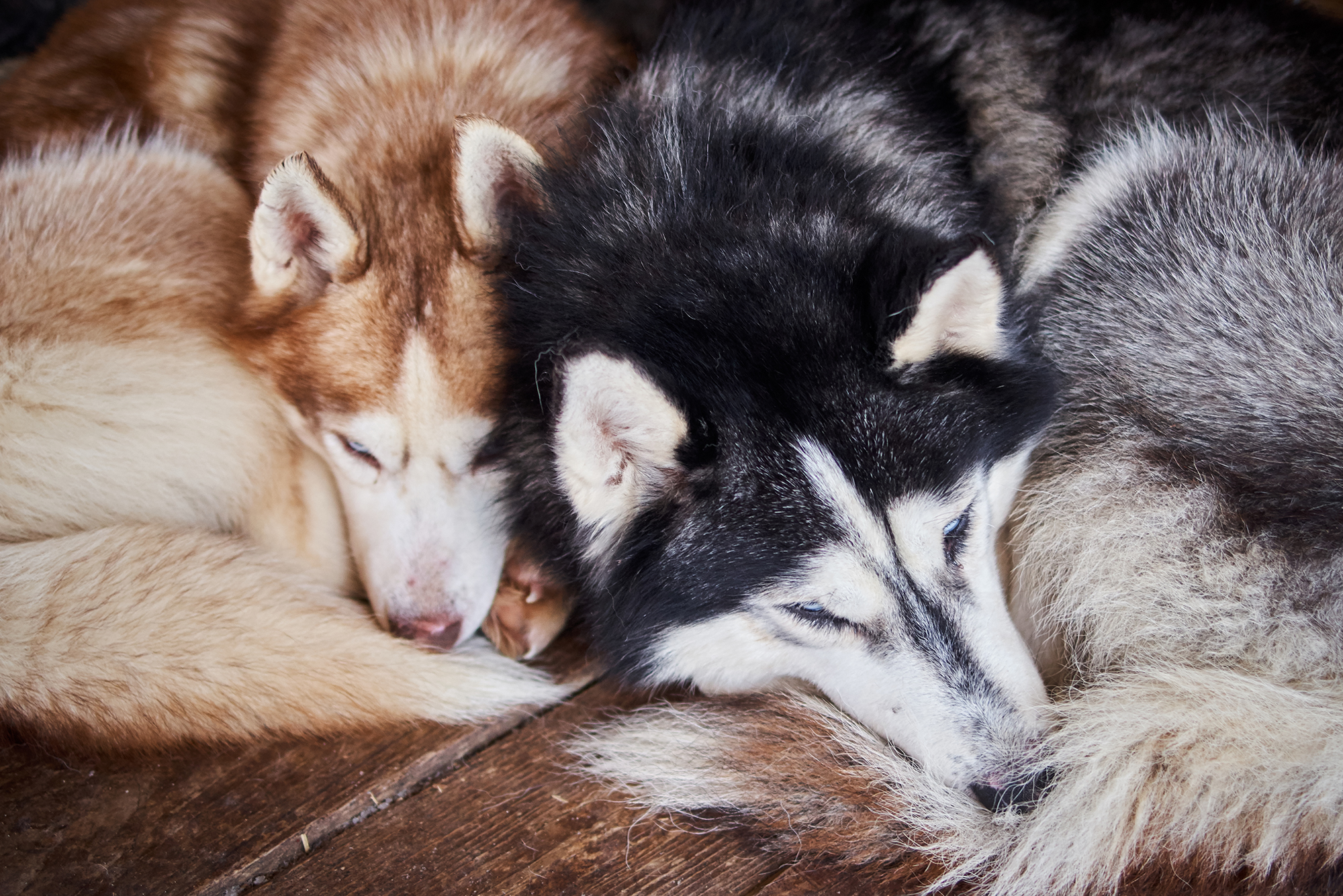 Truelove Husky Cafe In Thailand Lets Customers Play With Puppies