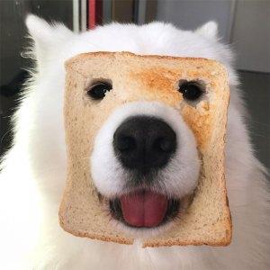 Maya the Samoyed Social Media Pet Star