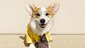small dog in yellow jacket and goggles costume