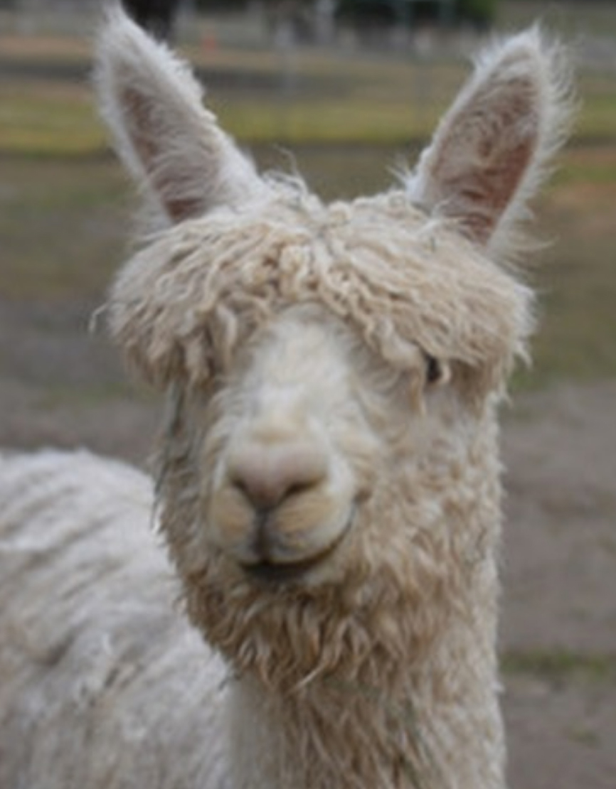 """Hilary-Duff-Gets-Alpaca - Koma introduced Ivan to his followers on Instagram Sunday, writing, """"Happy Valentine's Day @hilaryduff - I got you your alpaca. His name is Ivan."""""""