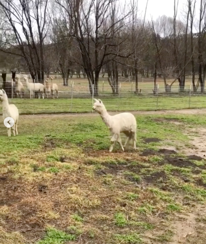 Hilary-Duff-Gets-Alpaca - Ivan was comfortable in his outdoor habitat, roaming the fields near the woods.