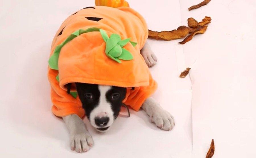 Puppies Dressed Like Pumpkins Review Pumpkin Spice Treats