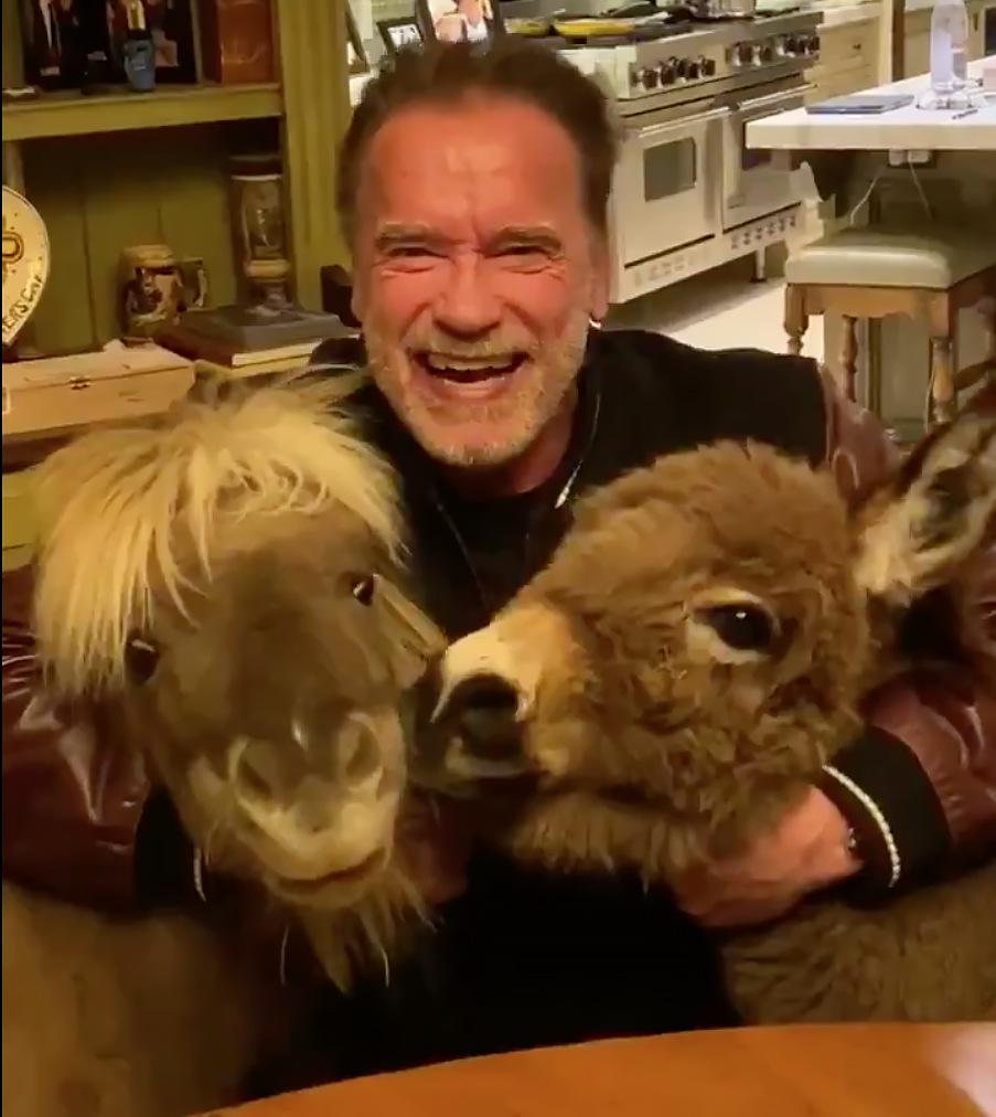 Arnold Schwarzenegger donkey pony