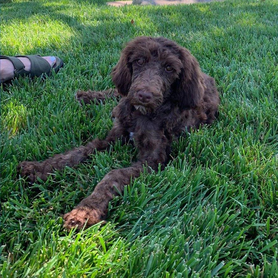 september 2019 ellen-degeneres-portia-de-rossi-rescue-rescue-poodle-puppy