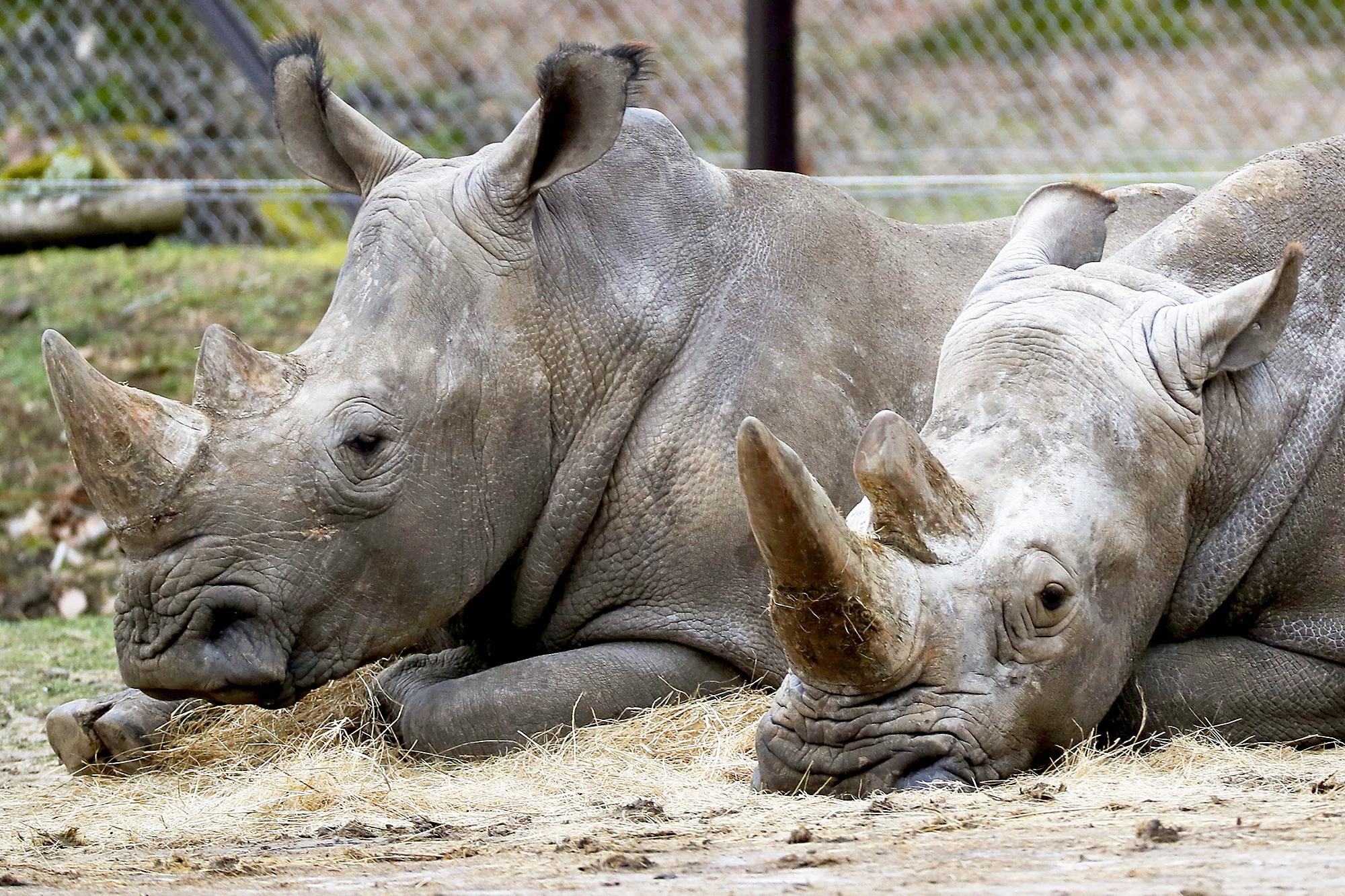 Rhinos Thoiry Zoo