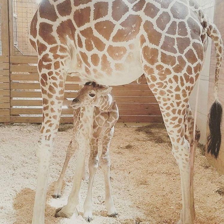 April the giraffe calf