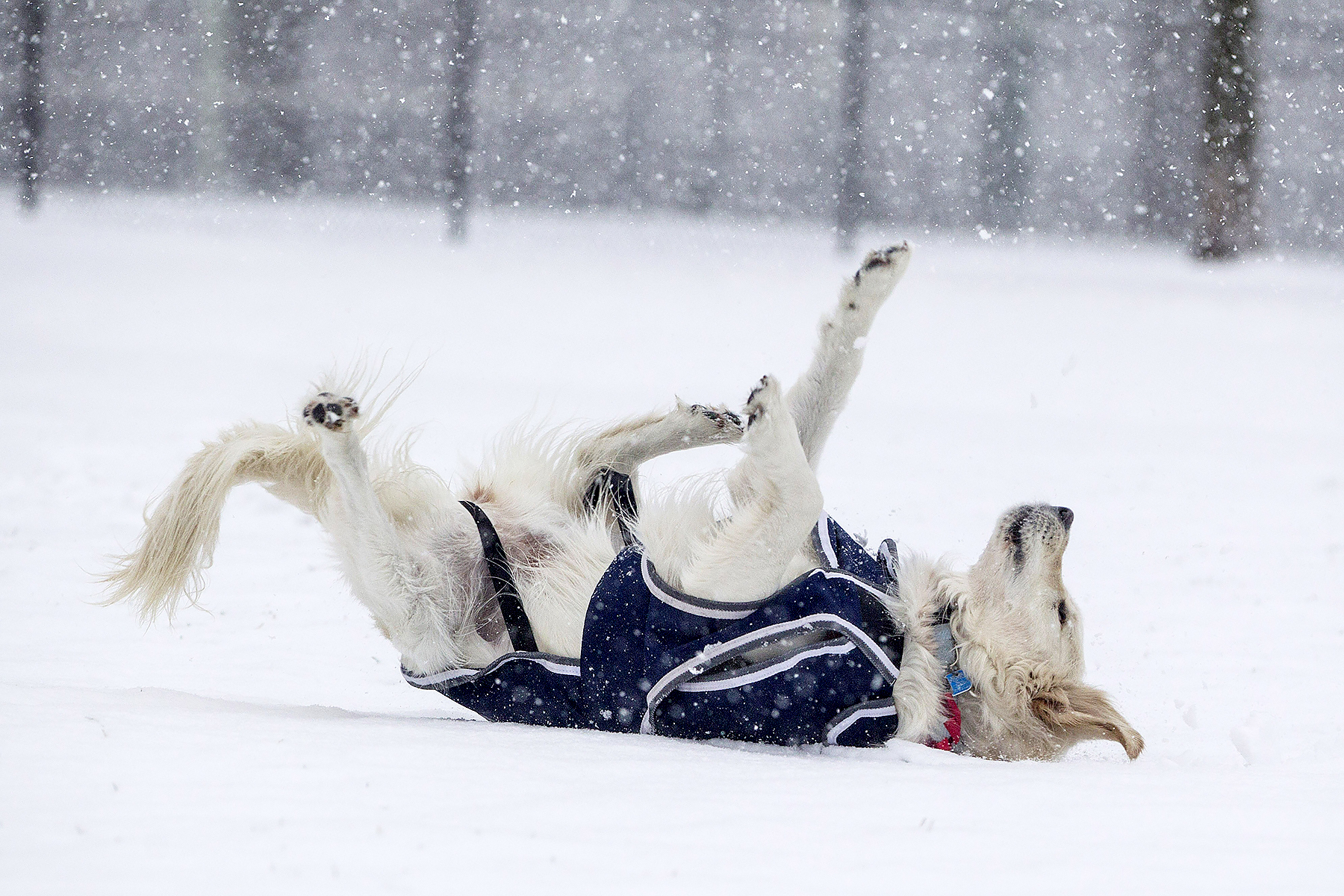 A dog rolls in the snow on the Boston Common as Winter Storm Stella bears down on March 14, 2017 in Boston, Massachussets.