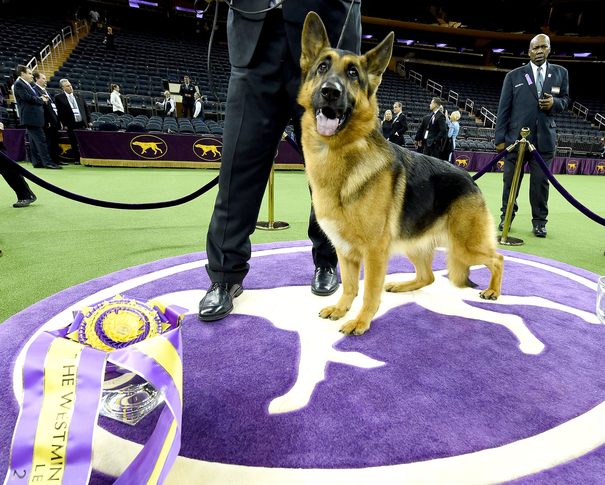 Rumor, a German shepherd, stands next to Kent Boyleshis, the handler after it won
