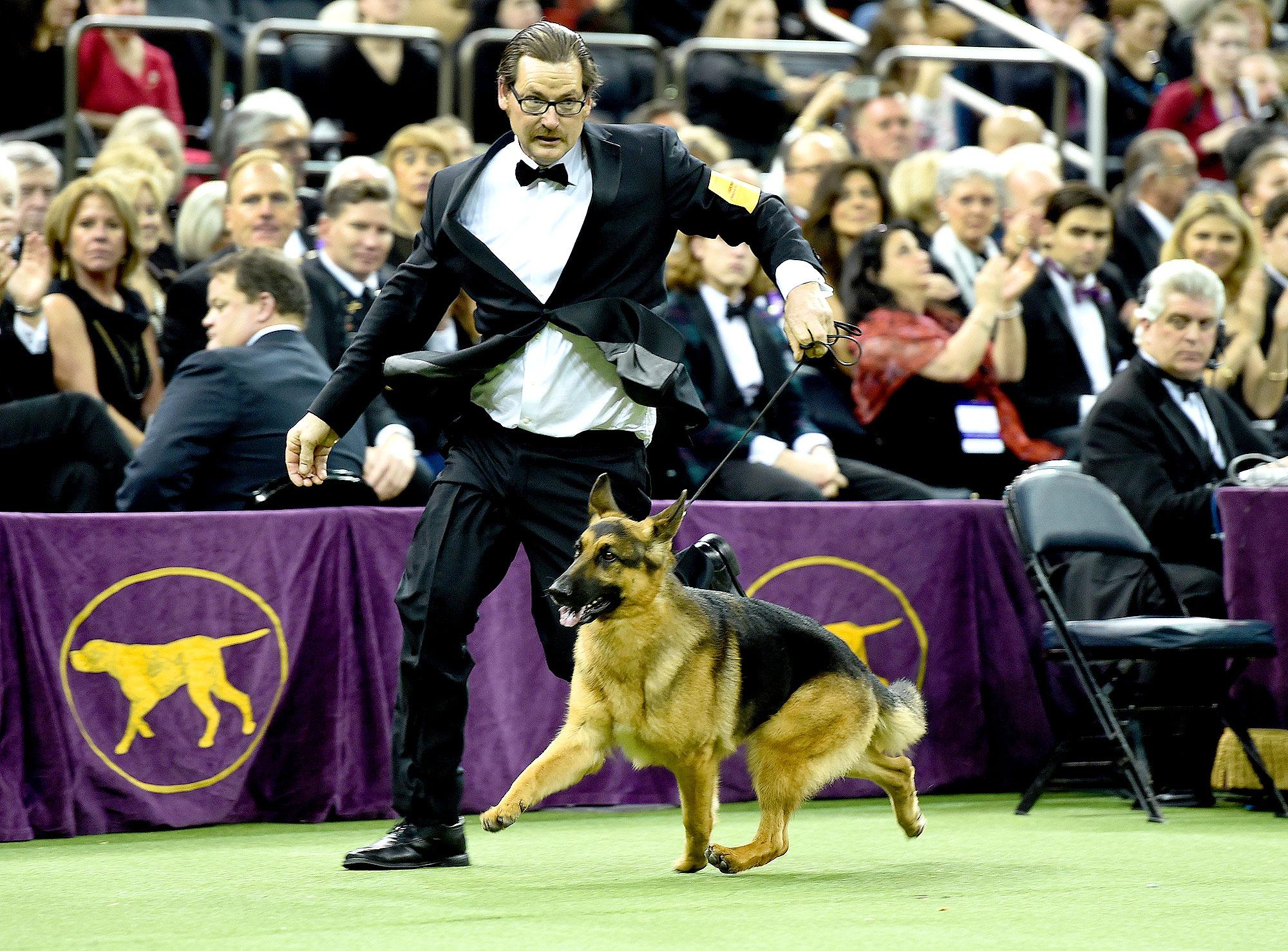 Rumor, a German shepherd, and Kent Boyles his handler run around the ring during judging before winning