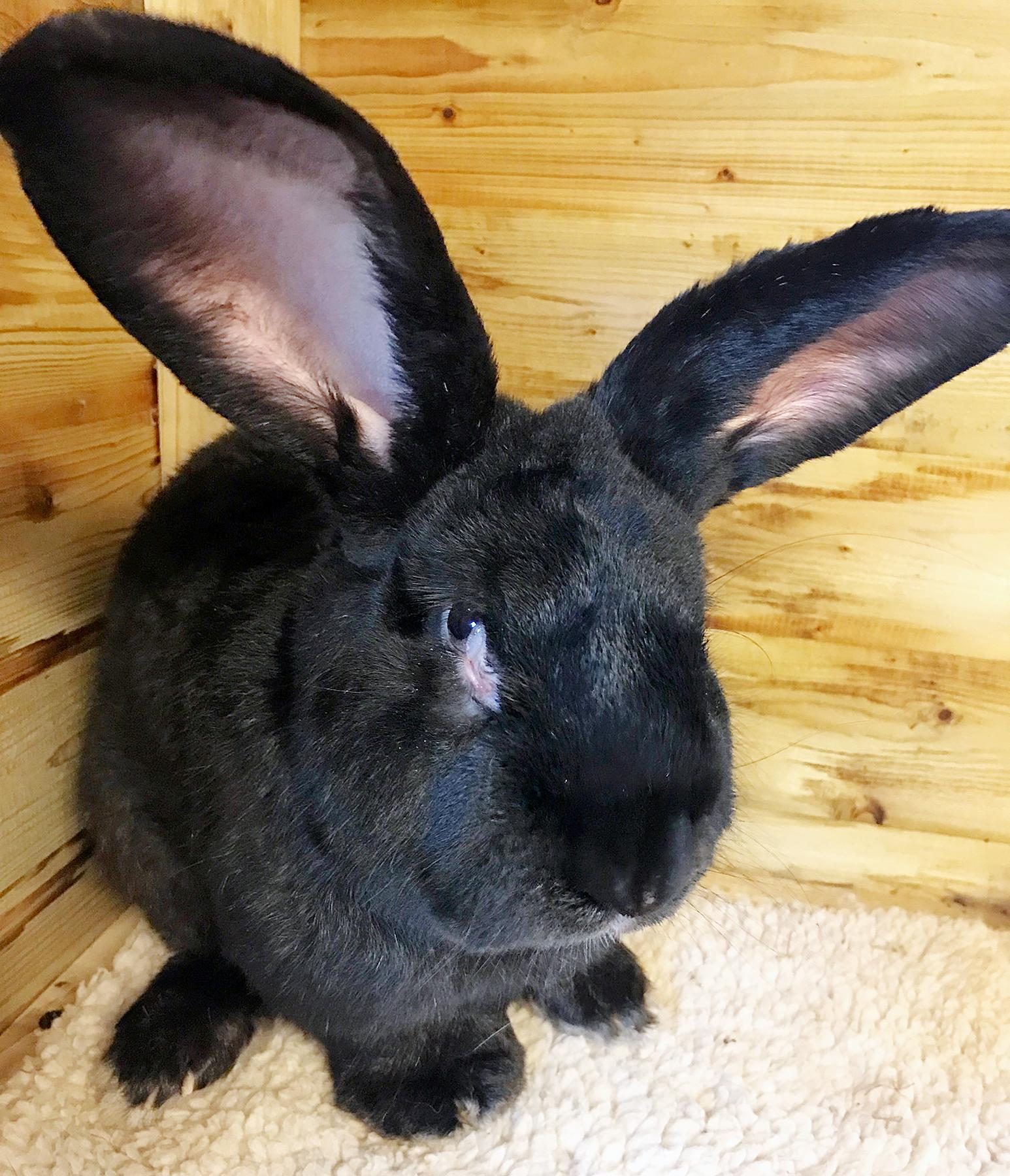 Simon the bunny rabbit