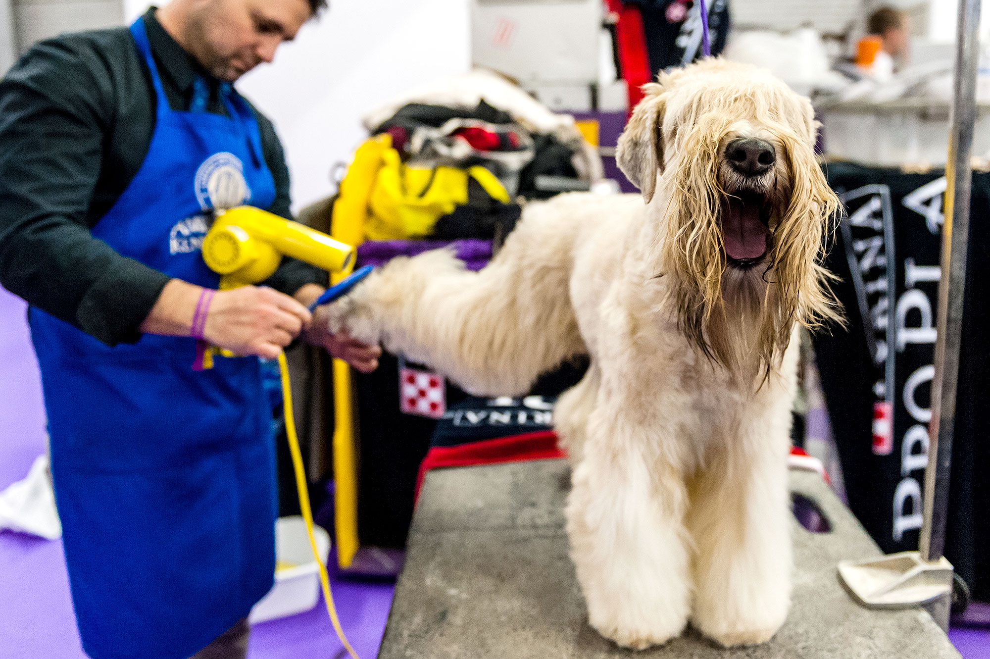 An Irish Terrier gets a wash and blow dry ahead of the judging of the Terrier Group at 141st Westminster Kennel Club Dog Show at Piers 92/94, on February 14, 2017 in New York City.