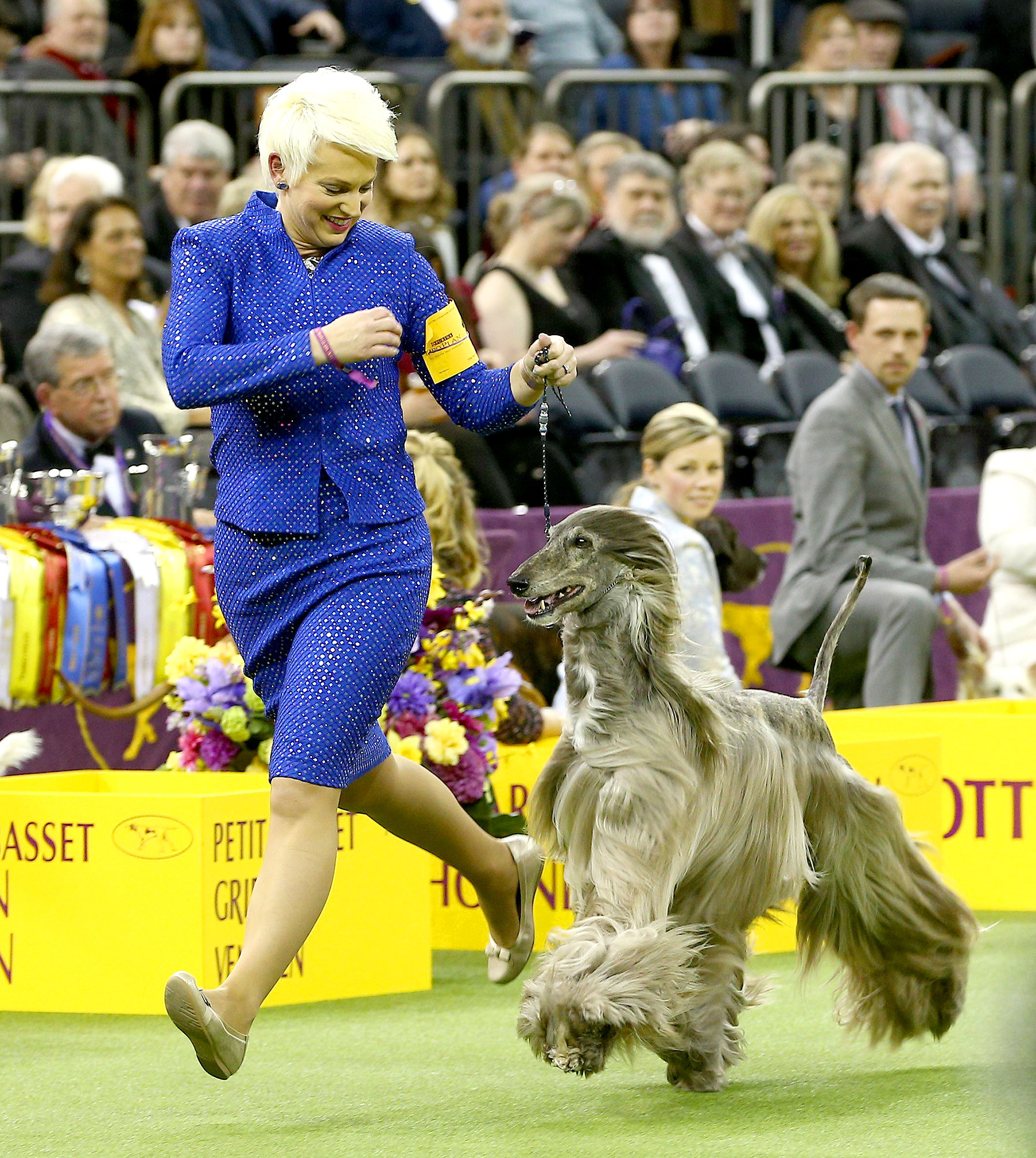 Best of breed afghan hound GCH CH Agha Djari's Fifth Dimension of Sura competes to represent the hound group in the Best in Show final of the 141st Westminster Kennel Club Dog Show at Madison Square Garden on February 13, 2017 in New York City.
