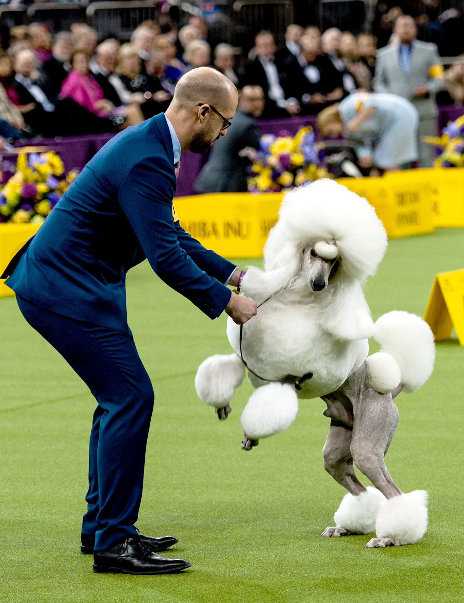 Best of breed Standard Poodle CH Afterglow Tyrone Power competes to represent the Non-Sporting group in the Best in Show final of the 141st Westminster Kennel Club Dog Show at Madison Square Garden on February 13, 2017 in New York City.